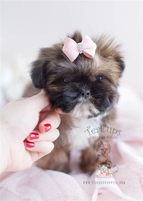 teacup shih tzu puppies for sale in south florida shih tzu puppy for sale at teacups puppies south florida teacups puppies boutique