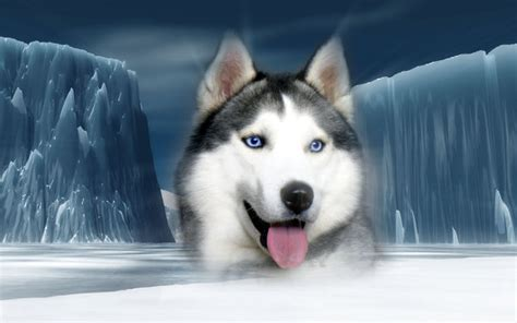 husky wallpaper blue eyes siberian husky blue eyes wallpaper wallpaper