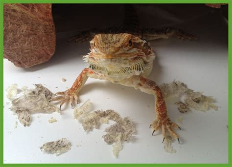 Do Anoles Shed Their Skin by Shedding