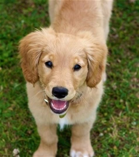 small that looks like a golden retriever miniature golden retriever breed information and pictures