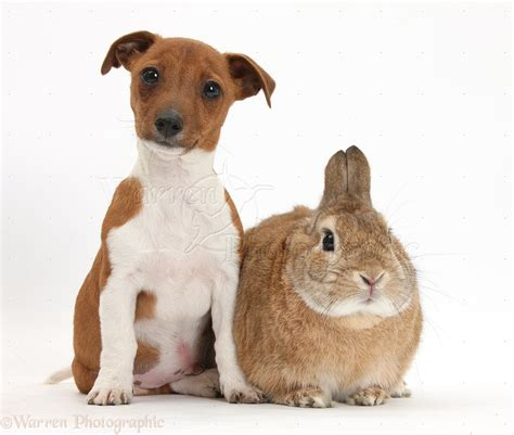 Pets: Jackahuahua pup and rabbit photo WP36016