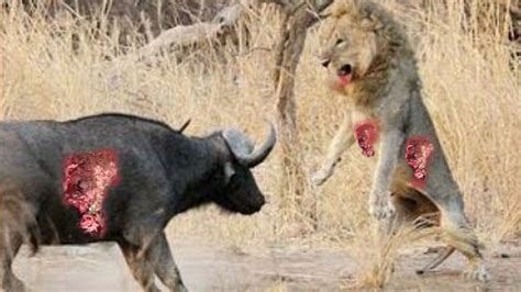 animals fighting wild animal fights to the death