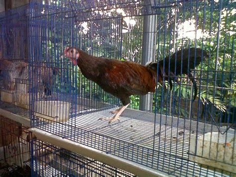 Ayam Pelung Murah jual ayam bekisar ternak ayam kung dan ayam pelung