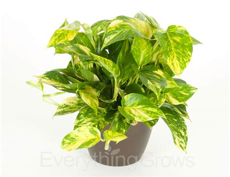pothos plant www imgkid com the image kid has it