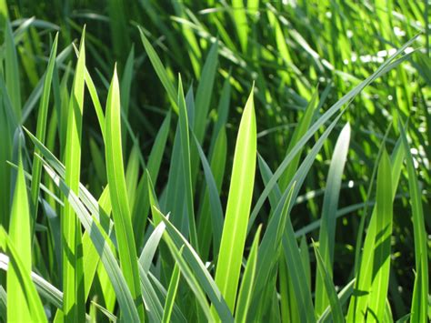 Scientific Name Of Grass by Reed Sweet Grass Detail 169 Robin Stott Geograph Britain
