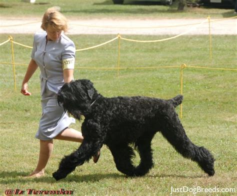 large black breeds russian breed large breed dogs spinningpetsyarn