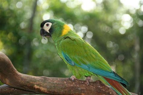 golden collard macaw mini macaw parrots birds turtles and fish