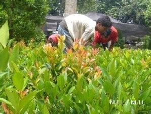Lu Hias Yang Ada Kipasnya sentra tanaman hias curug laris manis karena harganya