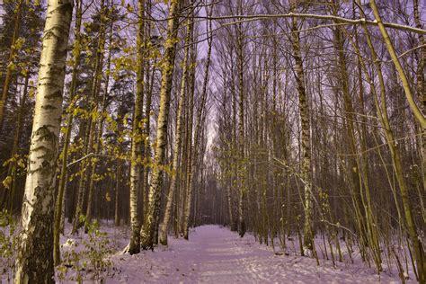 birch tree rubber st album st petersburg russia birch trees sphinx