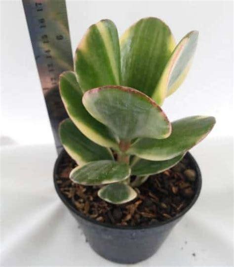 Bibit Kaktus Dan Sukulen jual bibit unggul tanaman sukulen 17 bibit