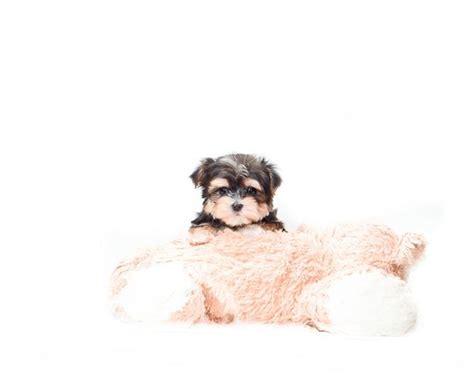 yorkies for sale in toledo ohio 25 best ideas about morkie puppies for sale on morkies for sale yorkie