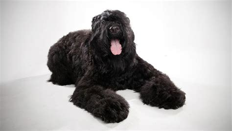 black russian terrier puppies black russian terrier breed selector animal planet