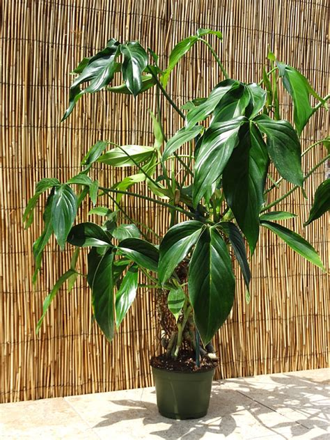 philodendron tripartitum plant  totem  philodendron