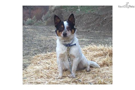 queensland heeler puppies craigslist miniature blue heelers for sale in oregon breeds picture