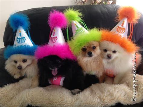 happy birthday pomeranian pomeranians chihuahuas and on