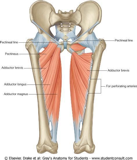 Adductor Muscles Diagram