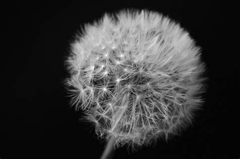 black and white dandelion wallpaper dandelions black and white wallpaper