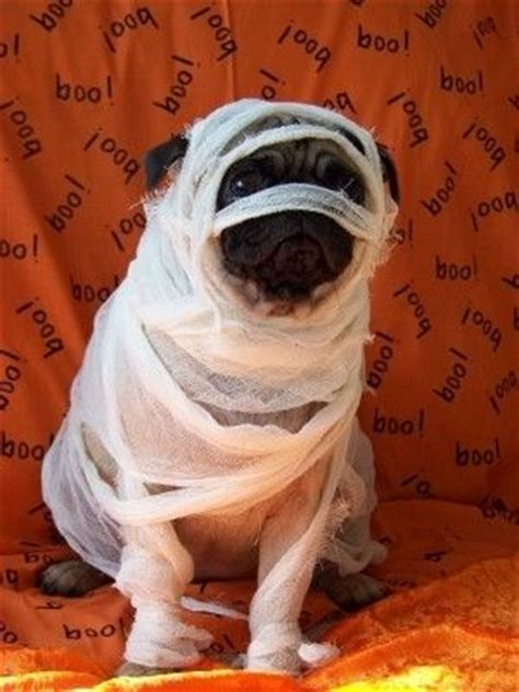 pug costume ideas mummified pug mummy costume pugs frenchies