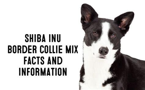 Shiba Inu Border Collie Mix ? Information and Facts   My First Shiba Inu