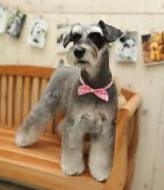 asian style schaunzer hair trim asian fusion schnauzer dog grooming pinterest