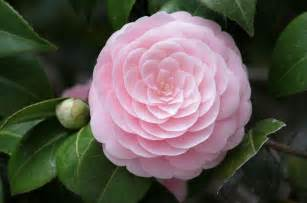 camellia flower flowers world