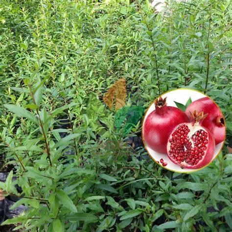 Beli Bibit Buah Delima Merah jual bibit tanaman delima merah asal biji agro bibit id