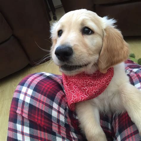 goldendoodle puppies for sale in kent 12 week goldendoodle puppy for sale orpington kent