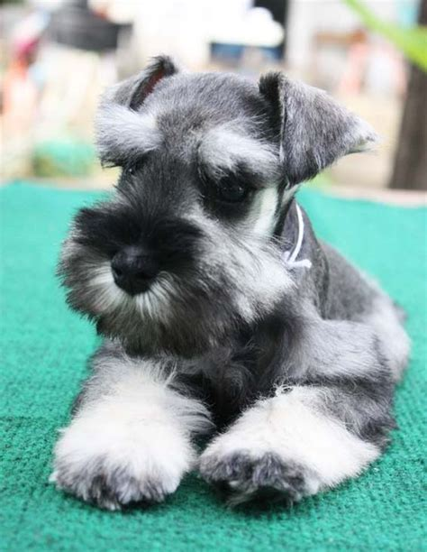 miniature schnauzer puppies ohio beautiful salts and so on