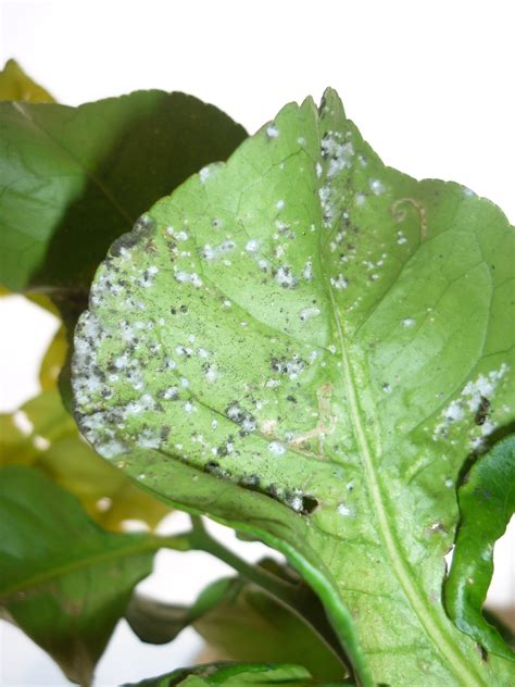 malattie dei limoni in vaso malattie agrumi alberi da frutto agrumi malattie