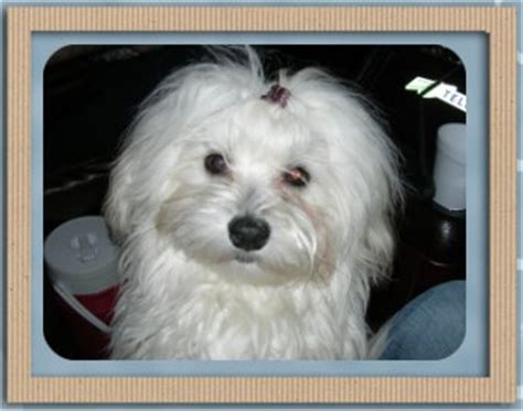 havanese dogs for sale alberta picture of havanese puppy 9 months havanese breeder havanese puppies havanese