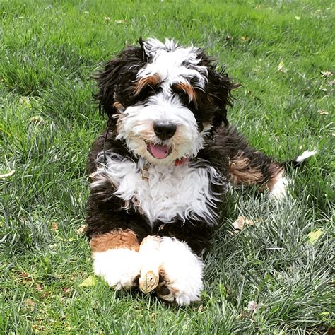 mini bernedoodle puppies leroy is a mini bernedoodle puppy from hackman s miniature goldendoodles and