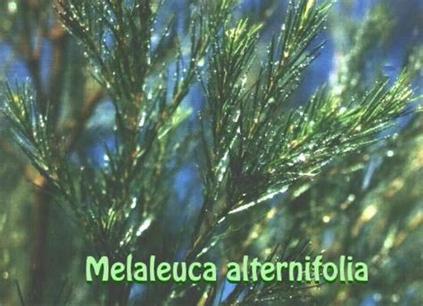 melaleuca uso interno sanat international piante tea tree melaleuca