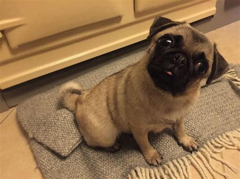 grown pug small fully grown 18 months salisbury wiltshire pets4homes