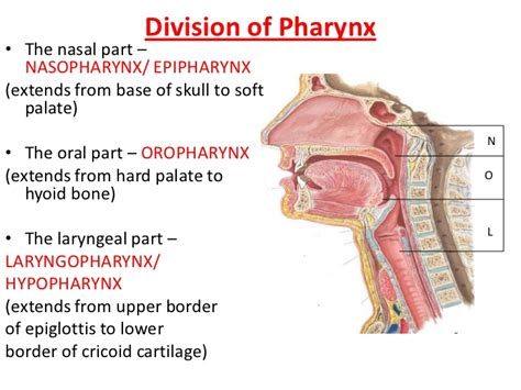 oropharynx diagram pharynx and larynx anatomy