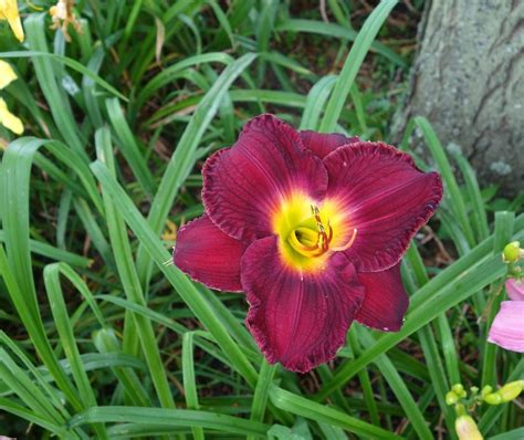Daylilies For Shade Daylilies Forum What Is Your Best Performer In Half Shade