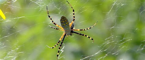 Garden Spider How Many Longwood Bioblitz Lancer Park Just Another Longwood