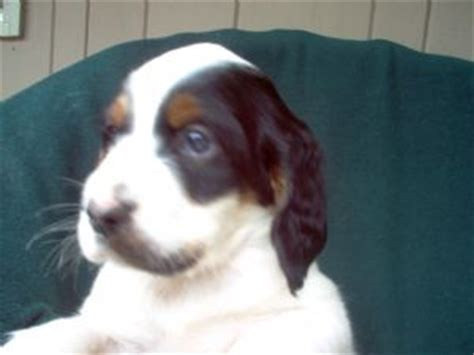 setter puppies ohio setter puppies for sale