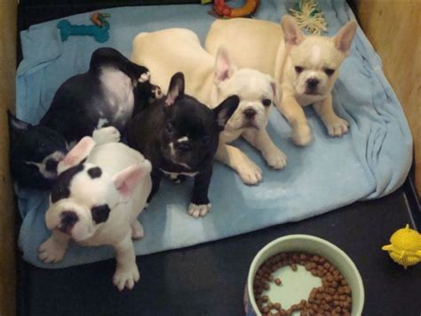 bulldog puppies for sale cheap a flock of frenchies dogs