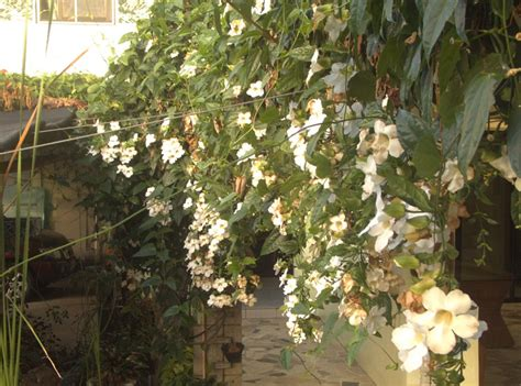 beautiful climbing plants top 10 beautiful climbing plants for fences and walls