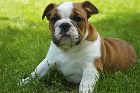 baby bull baby bulldog puppies breeds picture