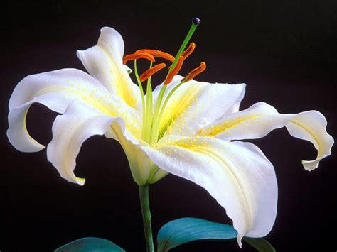 giglio viola fiore marotochi sfondi