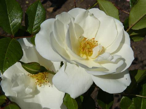 imagenes de rosas blancas y rosadas rosa blanca abierta maravillate