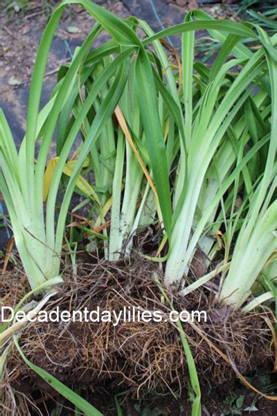 step by step how to divide daylilies daylilies in australia