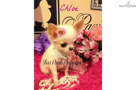 apple chihuahua puppies for sale near me chihuahua puppy for sale near arizona 6166c701 52b1