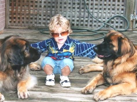 Do Leonbergers Shed by Leonberger Club Of Ontario Frequently Asked Questions