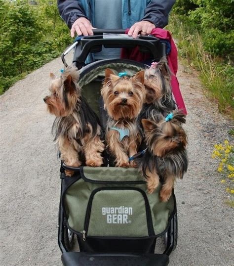 yorkie stroller 819 best images about yorkies on terrier puppys and yorkie