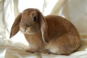 holland lop the life of animals