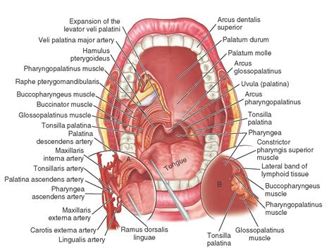 labeled diagram of and throat and throat diagram organ anatomy
