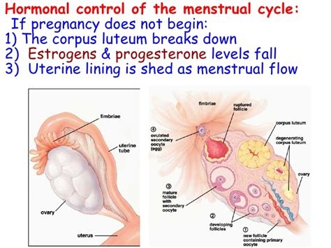 Uterus Lining Shedding Between Periods by Uterine Lining Shedding Period 28 Images Survey Of