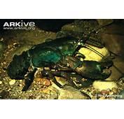 Tasmanian Giant Freshwater Crayfish  Astacopsis Gouldi